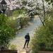 Cherry Blossoms in Geoje, S.Korea