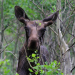 Spring moose, Colorado