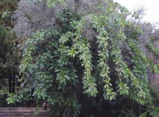 Solandra climbing in olive tree