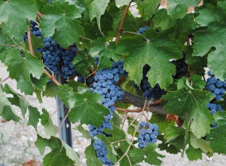 Grapes are looking good !