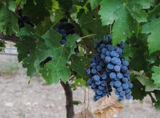 Beautiful grapes !